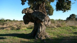 L'Arburacellu (arbre-oiseau bird-tree), chêne liège